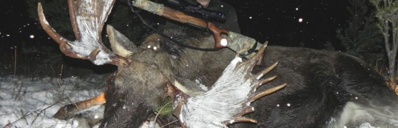Загонная охота на лося – смотреть видео онлайн