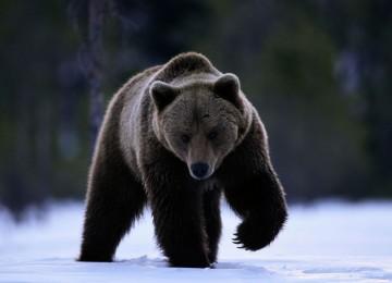 """Охота на медведя пелей"" смотреть видео онлайн"