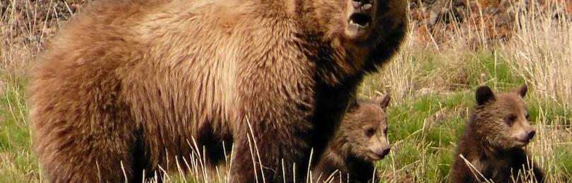"""""""Охота на медведя на овсах"""" смотреть видео онлайн"""