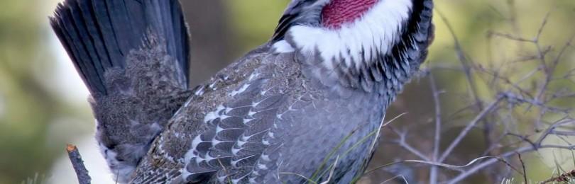 Охота на тетерева с ловчей птицей