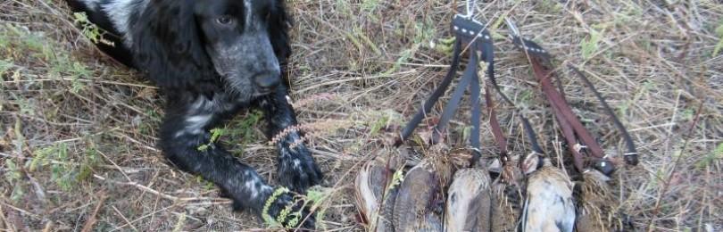 Первая охота Русского спаниеля на фазана смотреть видео онлайн