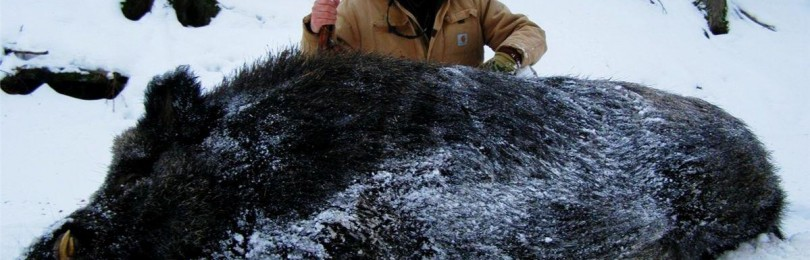 Охота на кабана с лайками: правила и советы охотникам