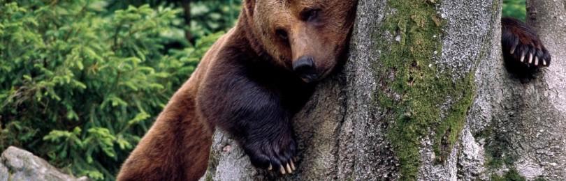 """""""Охота на медведя на приваде"""" смотреть видео онлайн"""