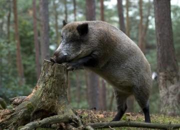 Охота на кабана летом: основные правила и способы