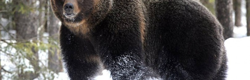 """""""Охота на медведя шатуна """" смотреть видео онлайн"""
