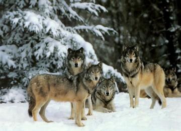 Облавная охота на волков с флажками