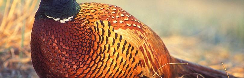 Охота на фазана c ретривером в Краснодарском крае