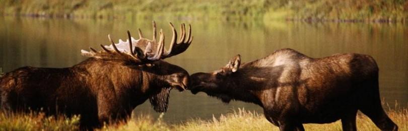 """""""Охота на лося во время гона. На вабу"""" смотреть видео оналйн"""