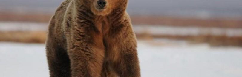 """Охота на медведя зимой"" смотреть видео онлайн"