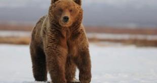 Охота на медведя зимой