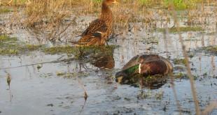 Охота на селезней с подсадной уткой