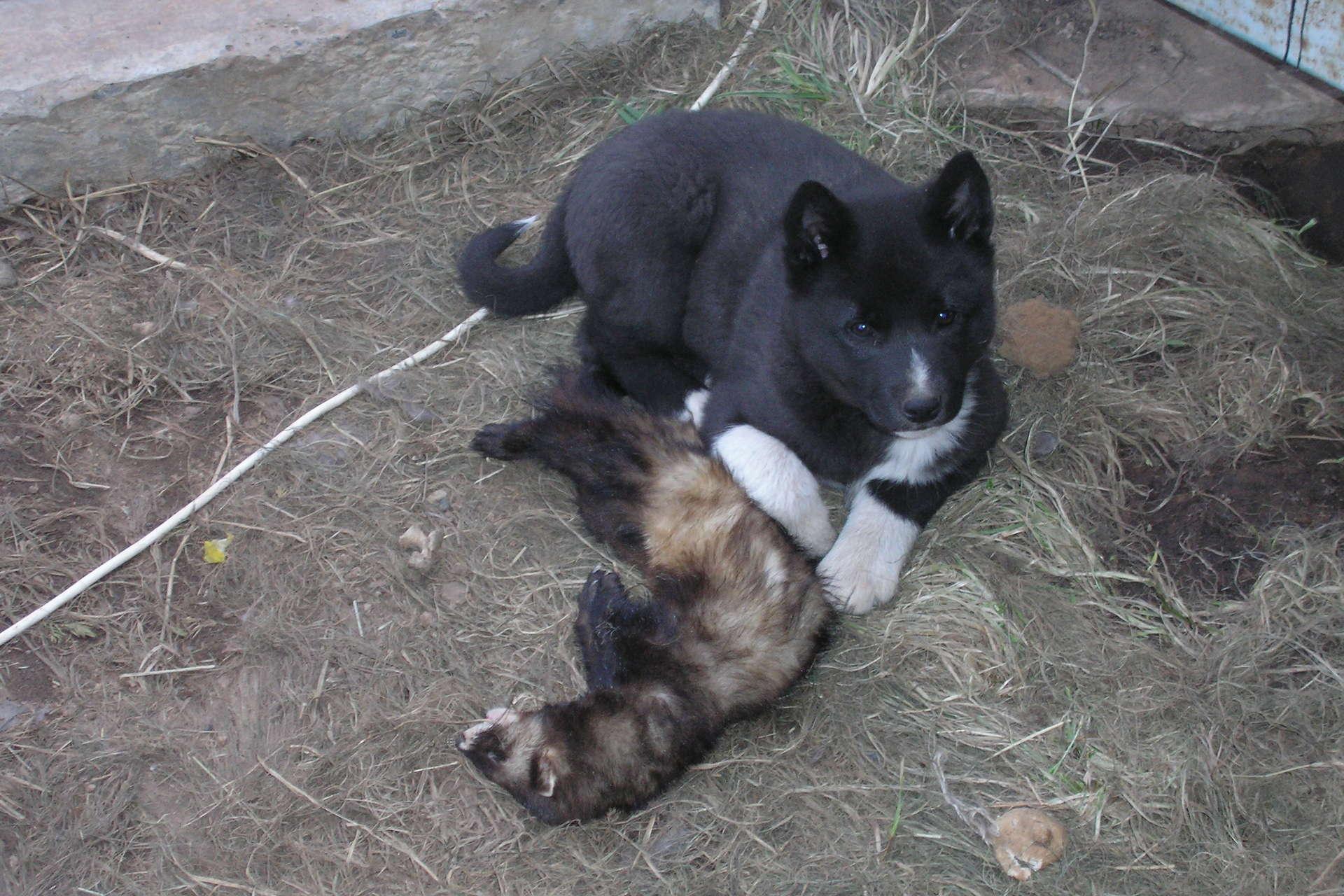 Охота на куницу с собаками