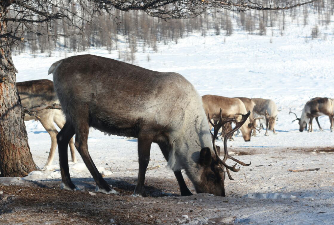 олени в Якутии