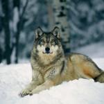 Волк — все о самом совершенном охотнике животного мира и как его поймать