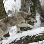 Особенности охоты на волков скрадом