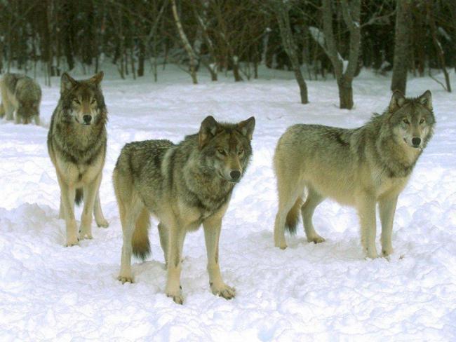 алтайские волки очень крупные