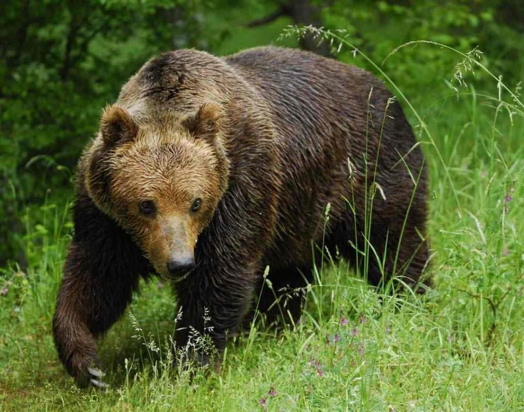 бурый медведь - желанный трофей