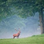 Анатолийский красный олень
