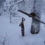 Охота на соболей с капканами