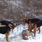 Охота на волка с гончими