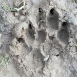 Следы волка в грязи