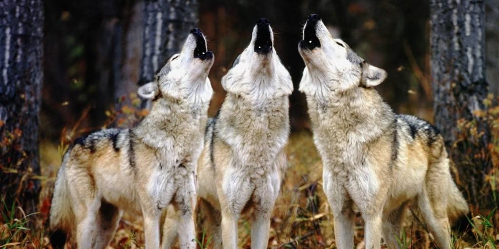 Вой волков - способ общения