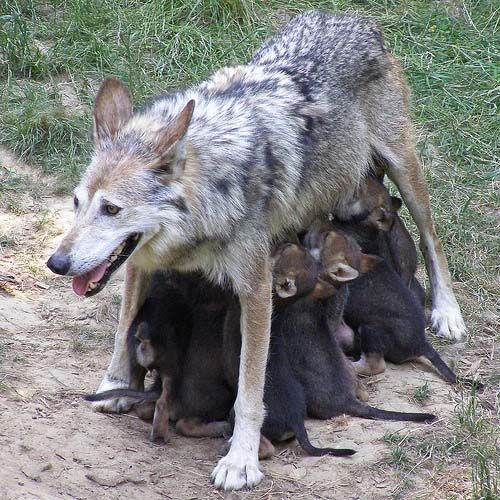 Волчица с волчатами - кормление