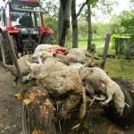 За одну ночь волки задрали 22 овцы