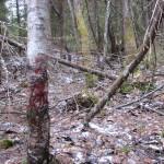 Кровавые следы раненого зверя