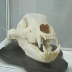 Череп вятского медведя