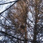 Гайно в птичьем гнезде