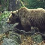 Крупный бурый медведь