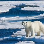 Полярный медведь у острова Шпицбергена