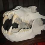 Трофейный череп