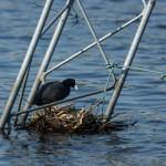 Гнездо лысухи на затопленных конструкциях