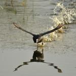 Лысуха взлетает с воды