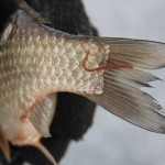 Писцикола на рыбе