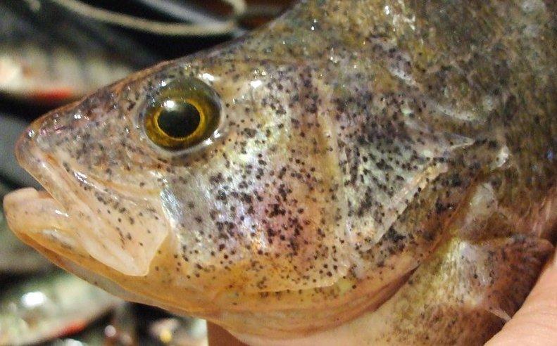 паразиты от рыбы у человека