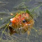Птенец лысухи спрятался в воде
