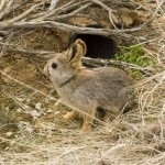 Айдахский кролик пигмей