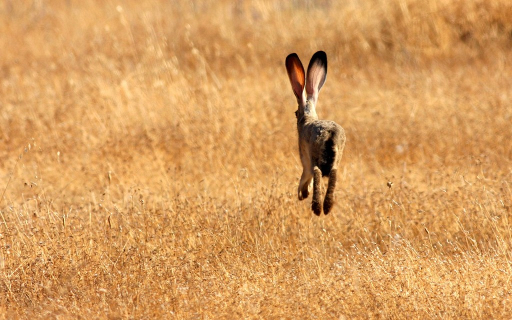 Заяц скачет по полю