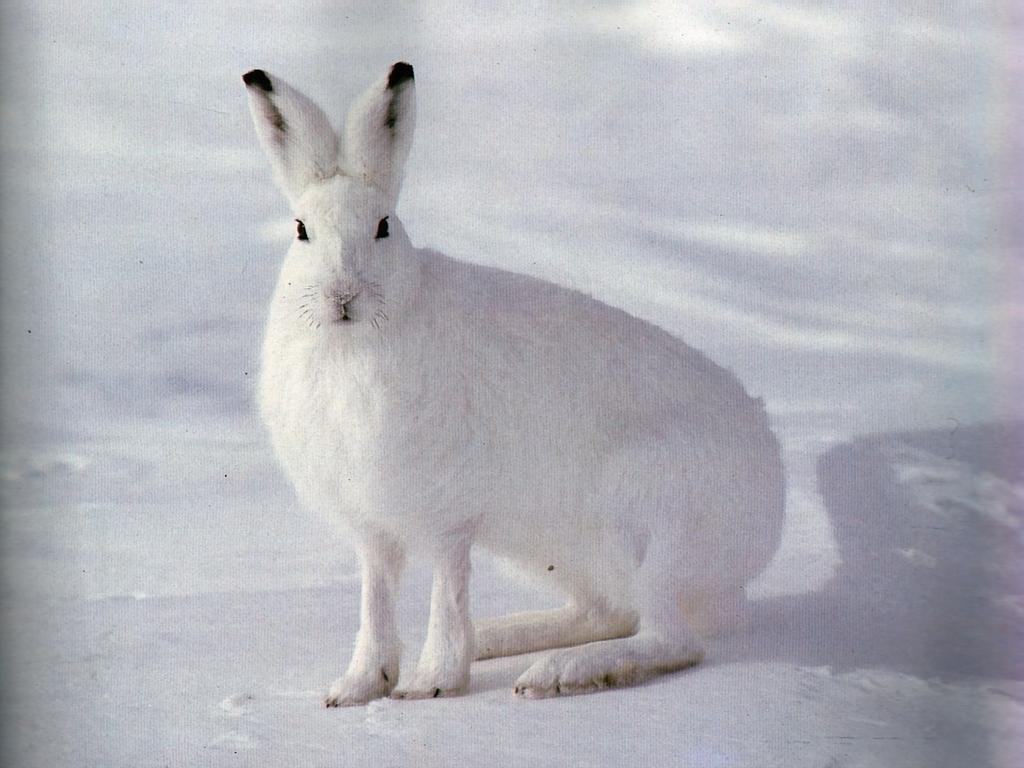 Охота на зайца обхитрить косого