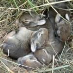 Заячье гнездо с зайчатами
