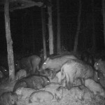 Ночная съемка кабанов через прибор ночного виденья