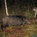 Ночная охота с лайкой