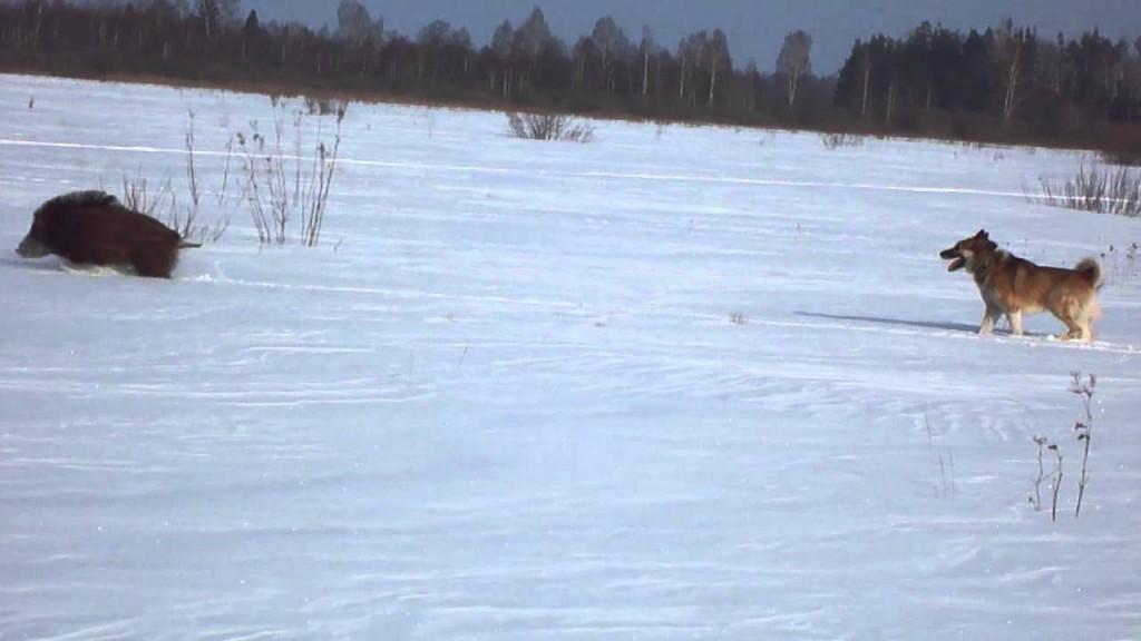 Охота на кабана с лайкой зимой