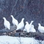 Белые куропатки на гальке