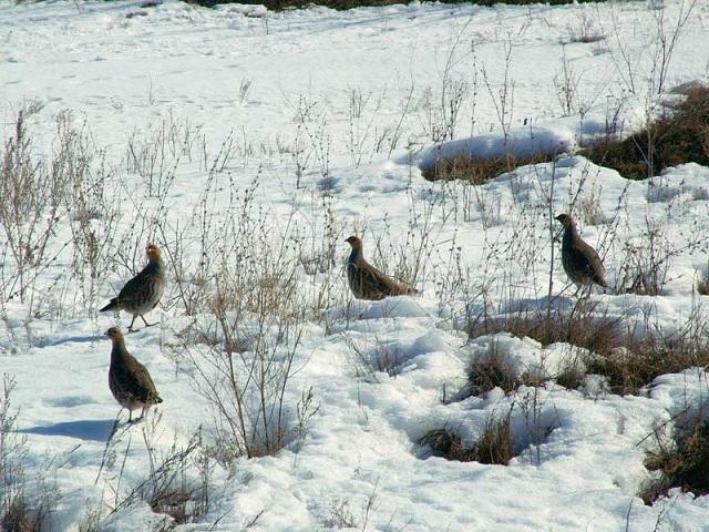 Куропатки на снегу