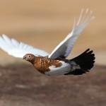 Полет тундряной куропатки