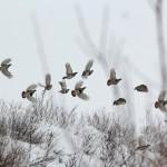 Выводок серых куропаток летит